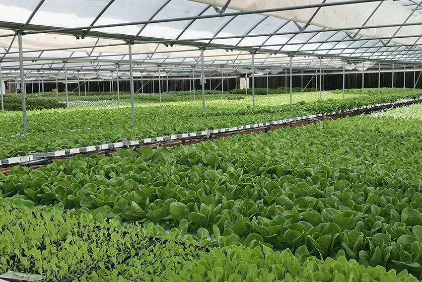 high_tunnel_enterprise_lettuce_artemis