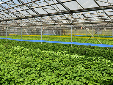 lettuce_high_tunnel_farm_enterprise_artemis