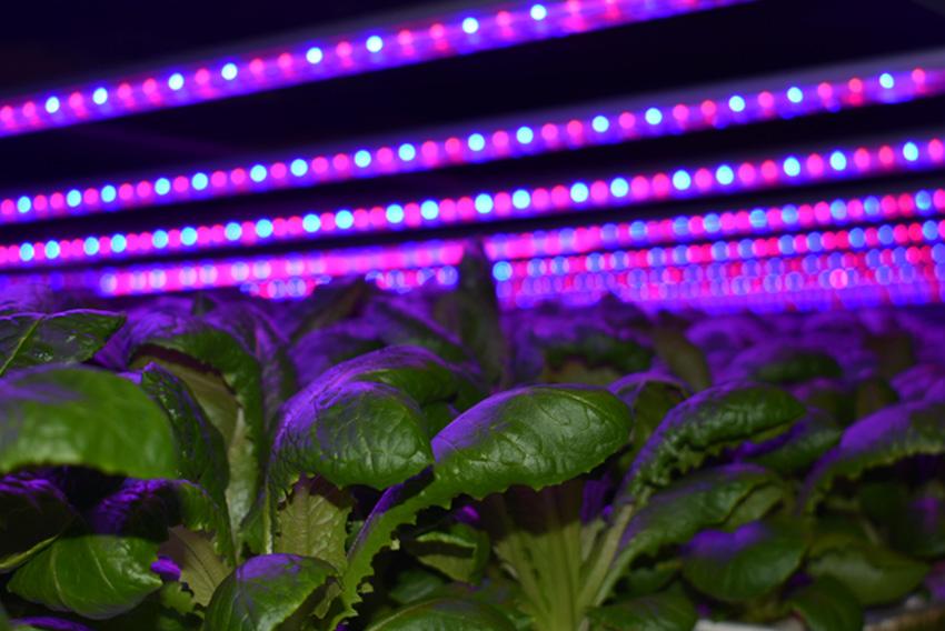 indoor_farm_lettuce_led_lights_artemis