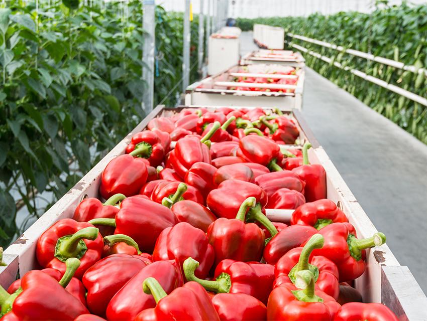 red_bell_pepper_vegetable_greenhouse_artemis